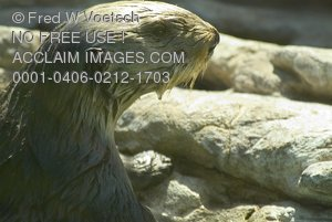 Stock Photo of a Wet Sea Otter