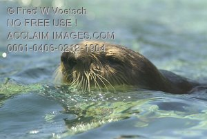 Stock Photo of a Swimming Sea Otter