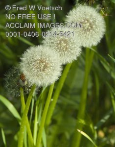 "Stock Photo of Three Dandelion Seedheads or ""Wishy Blows"""