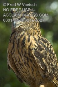 Stock Photo of a Perched Eurasian Eagle Owl