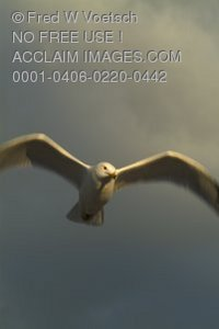 Stock Photo of a Seagull in Flight