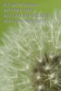 "Stock Photo of a Dandelion Seedhead or ""Wishy Blow"""