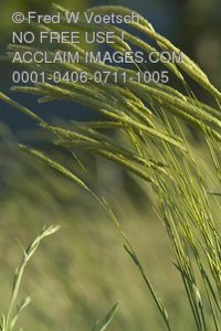 Stock Photo of Wild Grass, Weeds, or Wheat
