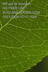 Stock Photo of a Green Leaf
