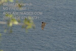 Stock Photo of a Condor Flying Over a Lake