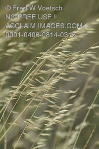 Stock Photo of Weeds or Wild Grass