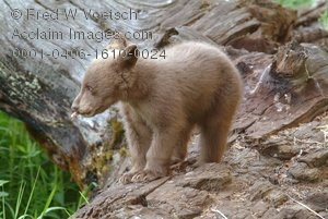 Stock Photo of a Baby Bear