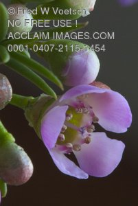 Stock Photo of a Close Up of a Western Australian Native Flower