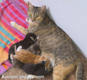 Stock Photo of a Mother Cat Nursing her Kittens