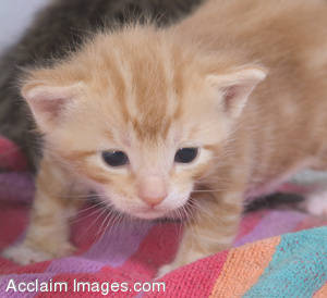 Stock Photo of a Baby Orange Kitten