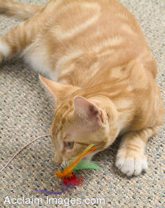 Stock Photo of a Kitten Atacking a Toy Feather