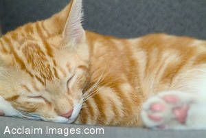 Stock Image of an Orange Striped Kitten Sleeping