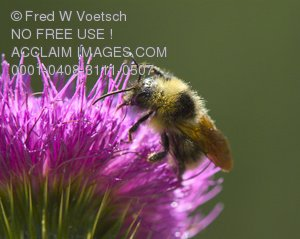 Stock Photo of a Bumble Bee on a Flower