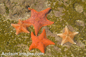 Stock Photo of Starfish In Tide Pool