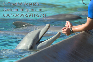 Clip Art Stock Photo of a Dolphin Trainer Training a Dolphin