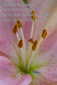 Clip Art Stock Photo of Stamens On a Pink Lily