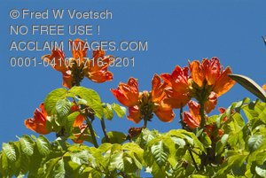 Clip Art Stock Photo of African Tulips Against a Blue Sky
