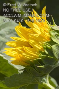 Clip Art Stock Photo of a Sunflower