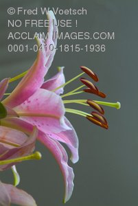 Clip Art Stock Photo of a Pink Lily with the Stamen Protruding