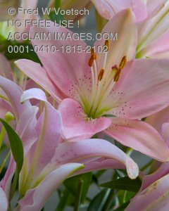 Clip Art Stock Photo of Pink Lilies