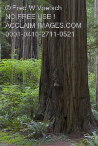 Redwood Trees In Northern California - Stock Photograph