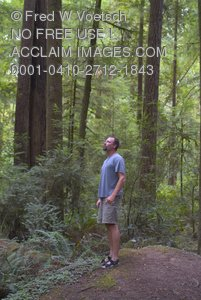 Man In the Redwood Forest Clip Art Stock Photo