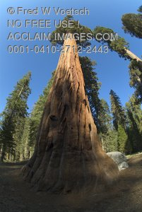 Giant Sequoia Trees In Sequoia National Park - Clip Art Stock Photo