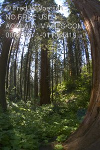 Fisheye View of Sequoia National Park Forest - Clip Art Stock Photo