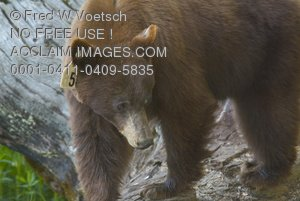 Clip Art Stock Photo of a Bear In the Wild With an Ear Tag