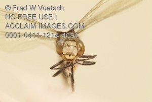 Head-on Photo of a Dragonfly