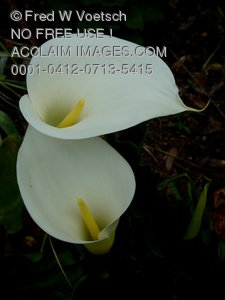 Clip Art Stock Photo of Two Calla Lilies