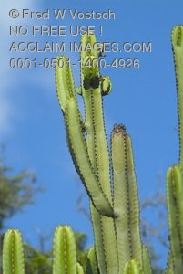 Rights Managed Stock Photo of a Cactus