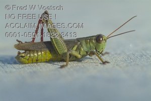 Clip Art Stock Photo of a Grasshopper