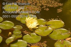 Clip Art Stock Photo of a Water Lily in a Lily Pond