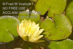 Stock Photo Clip Art of Water Lily Pond With Lily Pads