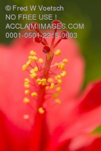 Clip Art Stock Photo of a Flower Stamen. Red Hibiscus Flower with Red and Yellow Stamen