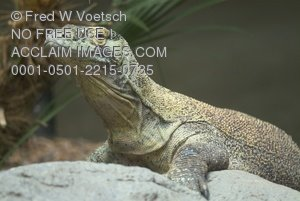Clip Art Stock Photo of a Komodo Dragon
