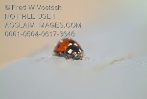 Ladybug Clip Art Stock Photo