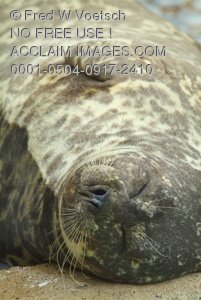 Harbor Seal at Rest Clip Art Stock Photo