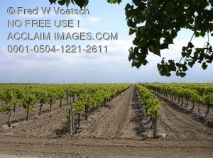 Clip Art Stock Photo of a Vineyard in Northern California