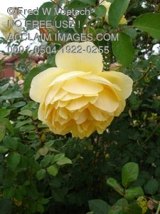 Clip Art Stock Photo of a Yellow Rose