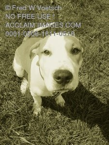 Clip Art Stock Photo of a Cute Pit Bull Puppy