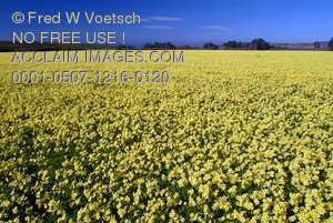 Stock Image of a Field of Yellow Flowers