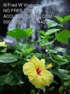 Stock Photo Clip Art of a Yellow Hibiscus Near a Waterfall