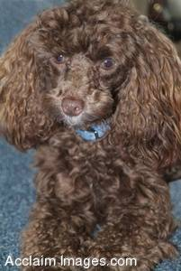 Stock Photography of a Chocolate Poodle