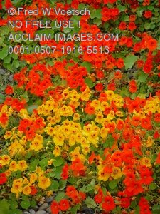 Stock Photo Clip Art of Orange and Red Nasturtium Flowers