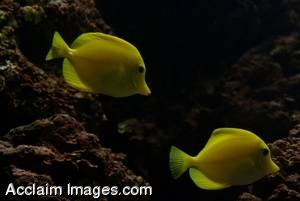 Stock Image of Yellow Tang Fish