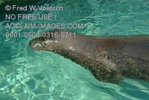 Stock Photo: Swimming Monk Seal