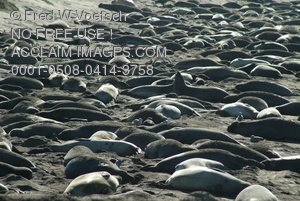Stock Image: Photo of Seals Sleeping On a Beach
