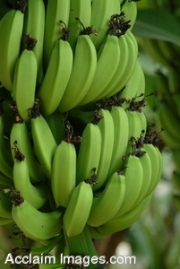 Stock Clip Art Picture of Green Bananas On a Banana Tree